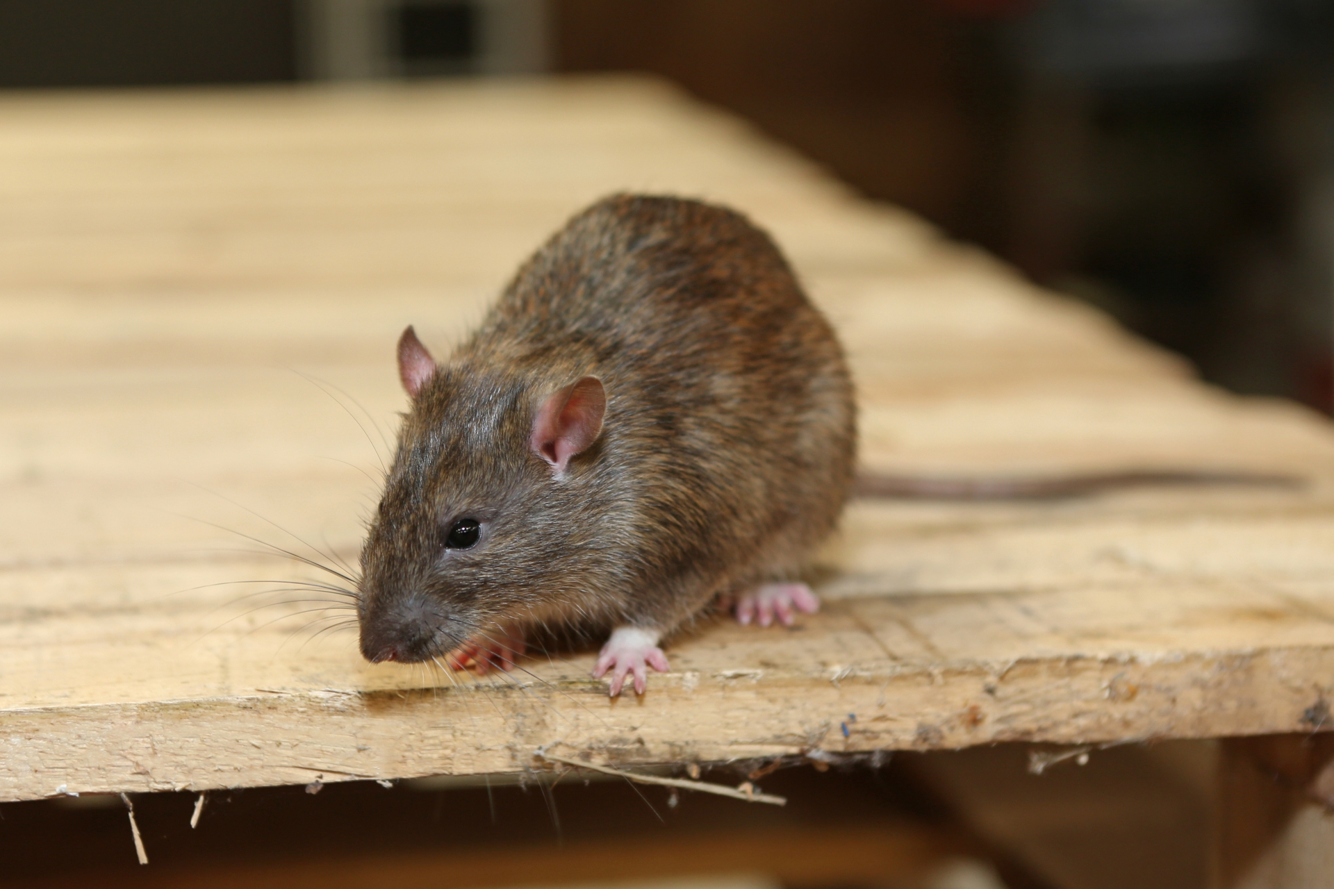 Rat Infestation, Pest Control in Clapton, E5. Call Now 020 8166 9746