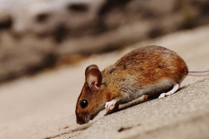 Mice Control, Pest Control in Clapton, E5. Call Now 020 8166 9746