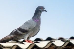 Pigeon Control, Pest Control in Clapton, E5. Call Now 020 8166 9746